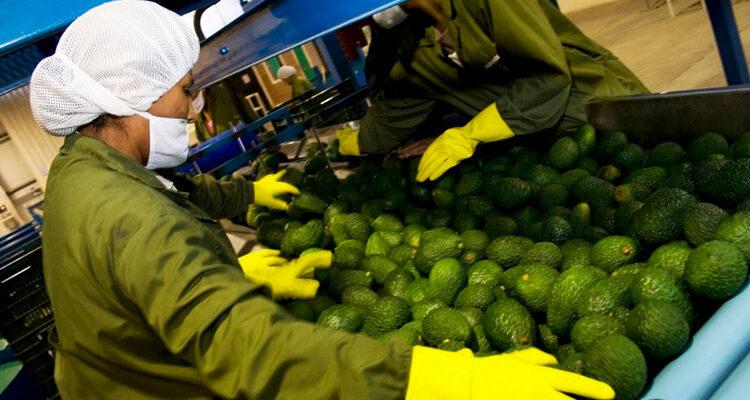 Exportaciones peruanas de palta registraron récord histórico a julio